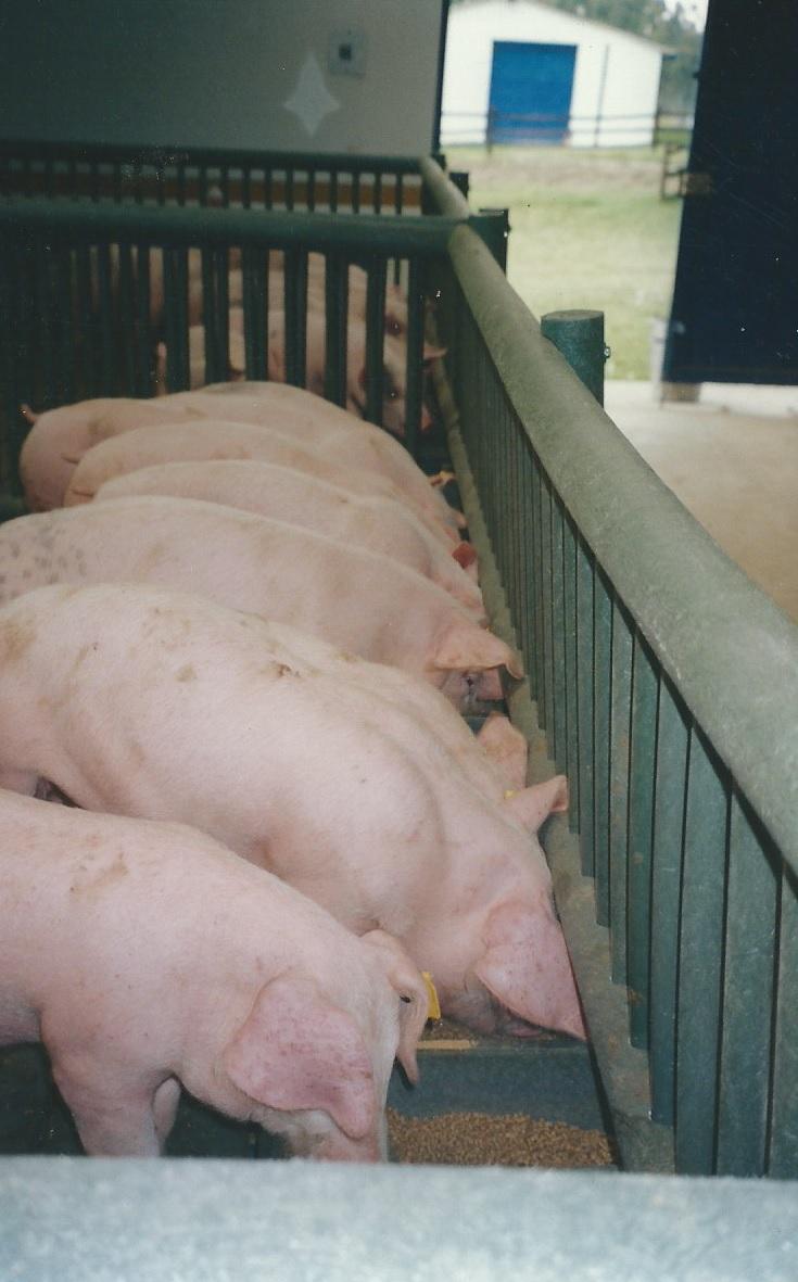 49 Porcicultura Jaulas Corrales parideras porcinas corral preceba ...